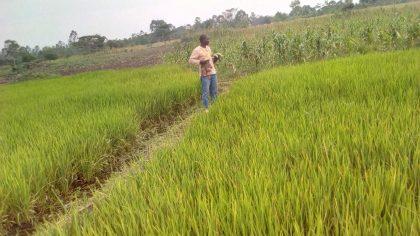 Rice Garden